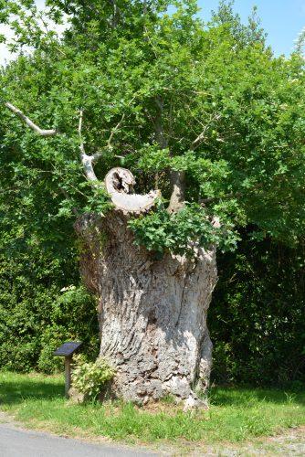 L'arbre creux est visible au Clos Minier